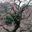 新宿御苑の梅・・2