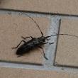 秋のお客さま Longhorn beetles