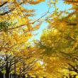 銀杏並木の道を行く