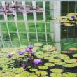 熱帯スイレン咲いた:京都府立植物園