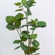 人気の人工観葉植物ウンベラータと陶器鉢カバー