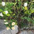 クチナシの花  #クチナシ