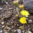 「おはようの花」 フキタンポポ1月