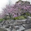 ■勾当台公園、八重桜