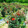 四季の里公園のバラ