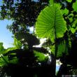 亜熱帯、クワズイモのある風景