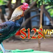 Cara Merawat Ayam Birma Asli