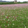 ドライブ中に見つけたコスモス畑・・・鹿児島の風景