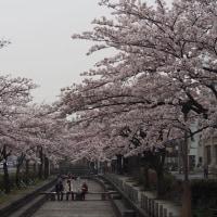 花の命は短くて・・・・桜が散り始めました
