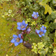 秋を告げるリンドウの花