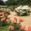 生田緑地のバラ園へ
