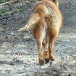 徹別川のキタキツネの尻尾に毛が~( ゚Д゚)  ②