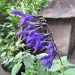 季節の花「サルビア」