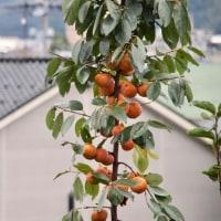空き家の庭、柿の実。