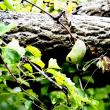 ゴヨウアケビの果実