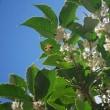 <ヒイラギモクセイ(柊木犀)> ヒイラギとギンモクセイの交雑種