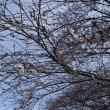 さくら便り:二季咲き性サクラが開花・・・