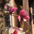 庭の八重桜は満開!
