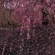 鈴鹿の森庭園のしだれ梅満開、いなべ市梅林公園も見頃です。