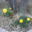 黄色い花が3つ同時に咲いた