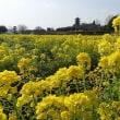 備中国分寺菜の花が綺麗になってる!