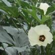 老人会 琵琶湖周航の歌 カラスウリ ザクロの花