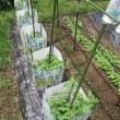 畑に野菜の植え付け②