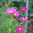コスモスという花