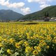 休耕田に咲く2800本のひまわり