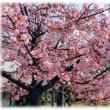 春爛漫…(^^♪富田筒井池の満開見頃のソメイヨシノよりも桃色が濃い「河津桜」