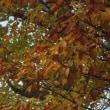 散歩で見た黄葉。