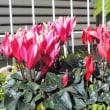 ガーデンシクラメン Garden Cyclamen