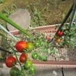 ミニトマトの色づき