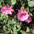 草笛の丘のバラ8