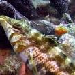 ネッタイミノカサゴの幼魚!