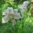 真夏に華やぐヤマユリの花