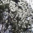 曼荼羅桜の後は 焦げた岩湧山