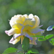 秋の薔薇(ピース)