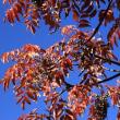 今年最後の皇居東御苑 (3)秋を彩る葉の色々