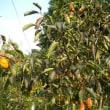 秋の味覚、美味しい柿の収穫を開始