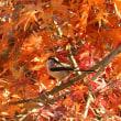 紅葉のカエデの枝に、エナガだ飛んで来た。