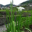 ネギの花(実)