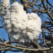 酔っぱらいの木、南米桜……「トックリキワタ」の花、実、綿