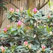 2018年・春、盛り。。 (満開の、桜 & ツツジの蕾)03月25日