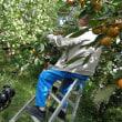 90歳ドライバーのゴローさん、酸素ボンベをお供に柿の収穫・・・