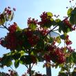 奥州市「えさし藤原の郷」のミヤマ(深山)ガマズミ 2017年9月24日(日)