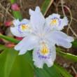 シャガの花咲く・・・4.23
