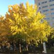 クリニック向かいの市立病院の銀杏並木