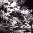 急だね(笑)夜桜見物🌸