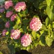 今年の紫陽花*